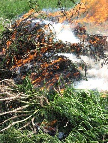 Конопляное поле горело огнем